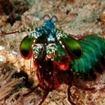 A smashing mantis shrimp, Nusa Tenggara
