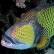 Moustached Triggerfish, Balistoides viridescens