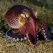 A Lembeh octopus, Sulawesi