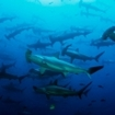 Schooling ammerhead sharks are a major attaction for many scuba divers