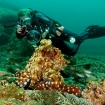 A diver finds an octopus in Oman