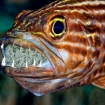 This tiger cardinalfish protects its brood of eggs