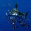 An oceanic whitetip shark in Egypt