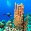 Scuba diving on the reefs of Roatan