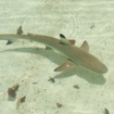 A blacktip reef shark at Surin Island