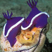 A nudibranch lays eggs on a sea squirt in Sabah, Malaysia