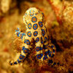 Blue-ringed octopus (genus Hapalochlaena) - Komodo, Indonesia