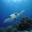 A mantaray approaches Monad Shoal