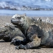 Marine iguanas in the Galapagos Islands of Ecuador