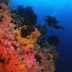 Scuba diving with the soft corals at the Far North Atolls of the Maldive Islands