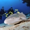 Diving with leopard sharks at Haa Dhaalu Atoll, in the Maldives