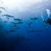 A scuba diver photos silky sharks at Socorro, Mexico