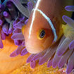 Anemonefish on the Cairns Barrier Reef