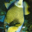 Titan triggerfish are found at the island