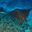 Spotted eagle ray in the Daymaniyat Islands