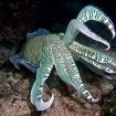 A pharoah cuttlefish in Oman