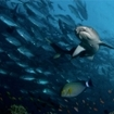 A whitetip reef shark swims with trevally at Sipadan, Malaysia