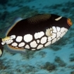 A clown triggerfish in Thailand