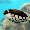 Clown triggerfish are beautifully coloured fish