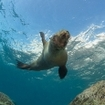 A sea lion in Mexico's Sea of Cortez