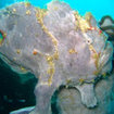 Giant frogfish - Lankayan
