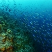 A school of fusiliers passes over a reef in the Banda Islands