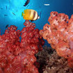 A butterflyfish and soft corals, Ribbon Reefs