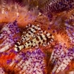 Coleman shrimp in a fire urchin, Ambon