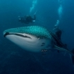 A rare whale shark passes the Brothers in Egypt's Red Sea