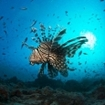 A close up of a lionfish in central Maldives