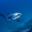 Malapascua is famed for thresher shark encounters