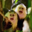 Costa Rican capuchin monkeys
