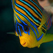A regal angelfish, Red Sea
