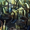 Banggai cardinalfish in the Lembeh Strait, Indonesia
