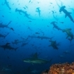 Sive with schools of hammerhead sharks at Cocos Island
