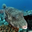 Mappa pufferfish