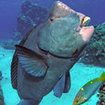 A bumphead parrotfish being cleaned at Bougainville