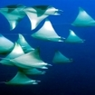 Spectacular mobula rays on Australia's Great Barrier Reef
