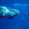 Diving with whale sharks at Cocos Island