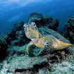See turtles in the Sipadan Island