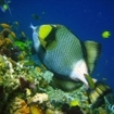 A titan triggerfish in Phuket