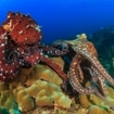 Mating octopus at the Similans, Thailand