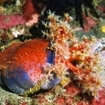 A colourful sea apple at Cannibal Rock