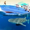 A whale shark passes under the Thai Sea in Burma