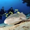 Divers watch a leopard shark in the Far North Atolls