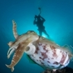 A broadclub cuttlefish (Sepia latimanus) floats above a coral reef, Flores