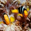 Anemonefish in the Maldives