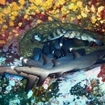 Whitetip reef sharks and pocupinefish huddle in an overhang at Socorro