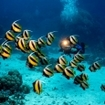 Bannerfish at Egypt's Dangerous Reef