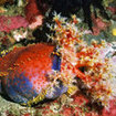 A colourful sea apple at Cannibal Rock, Komodo Island